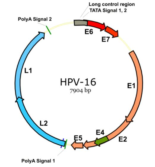 the human papilloma virus exposed essay Free example research paper on hpv find other free essays human papilloma virus infections are among the most common sexually transmitted diseases and.